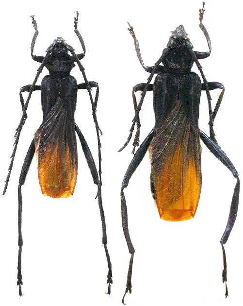 Cerambycinae Callichromatini Scalenus (Scalenus) hemipterus ...