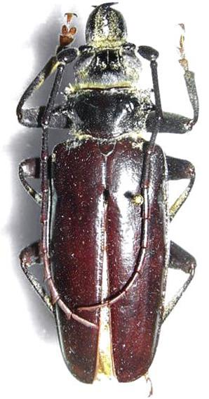 Anthracocentrus capensis